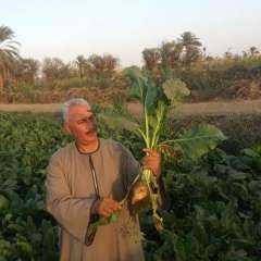 نقيب الفلاحين: مصر تقترب من الاكتفاء الذاتي من السكر